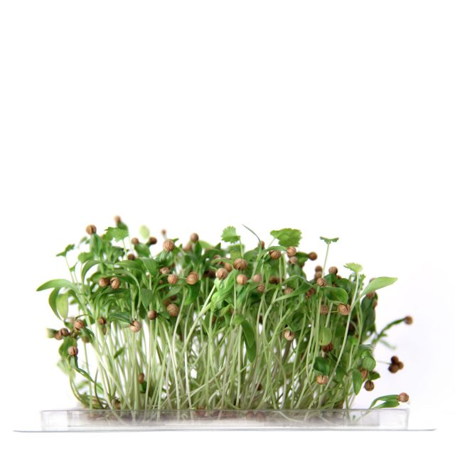 InstaGreen Microgreen cup with Coriander
