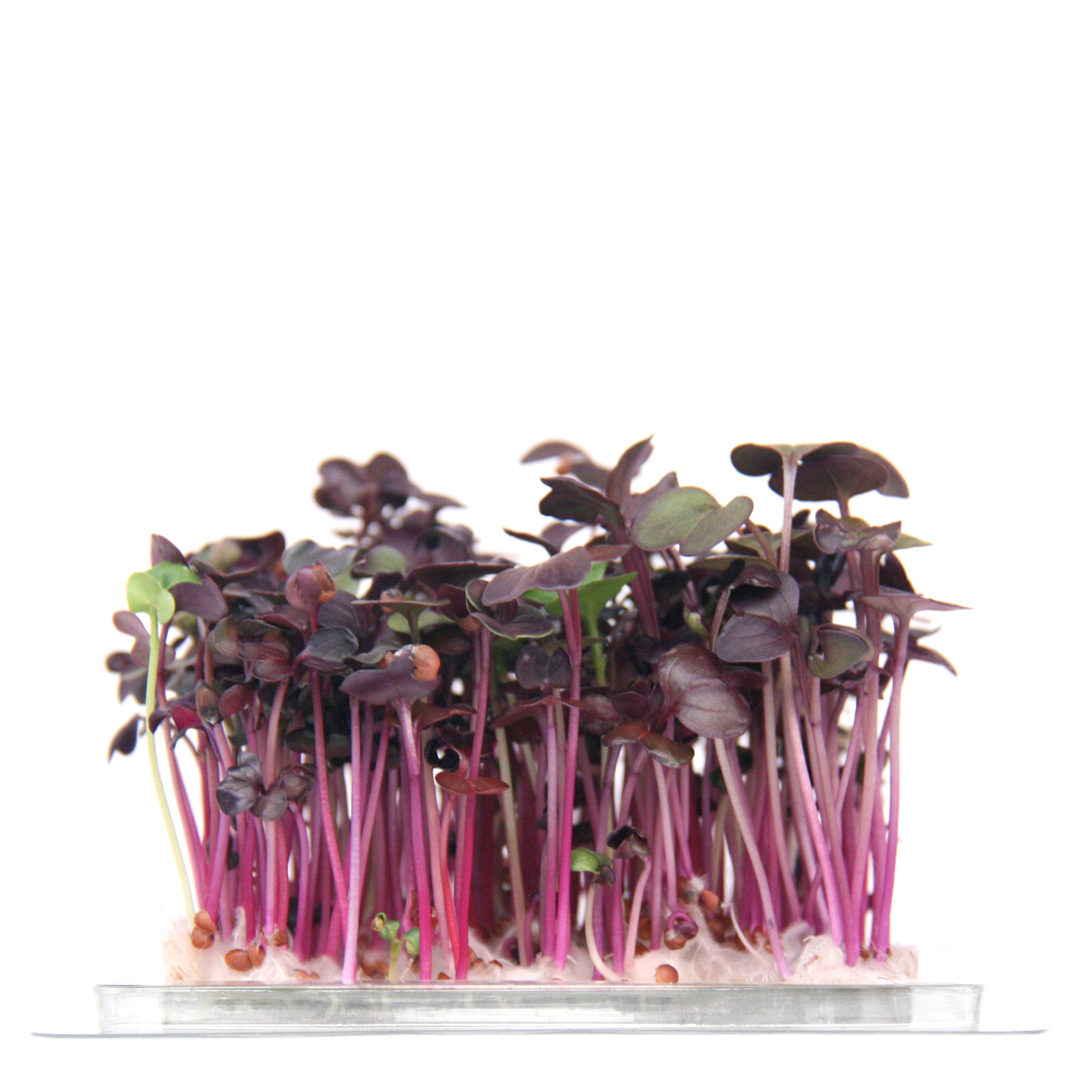 InstaGreen Microgreen cup with Red Daikon