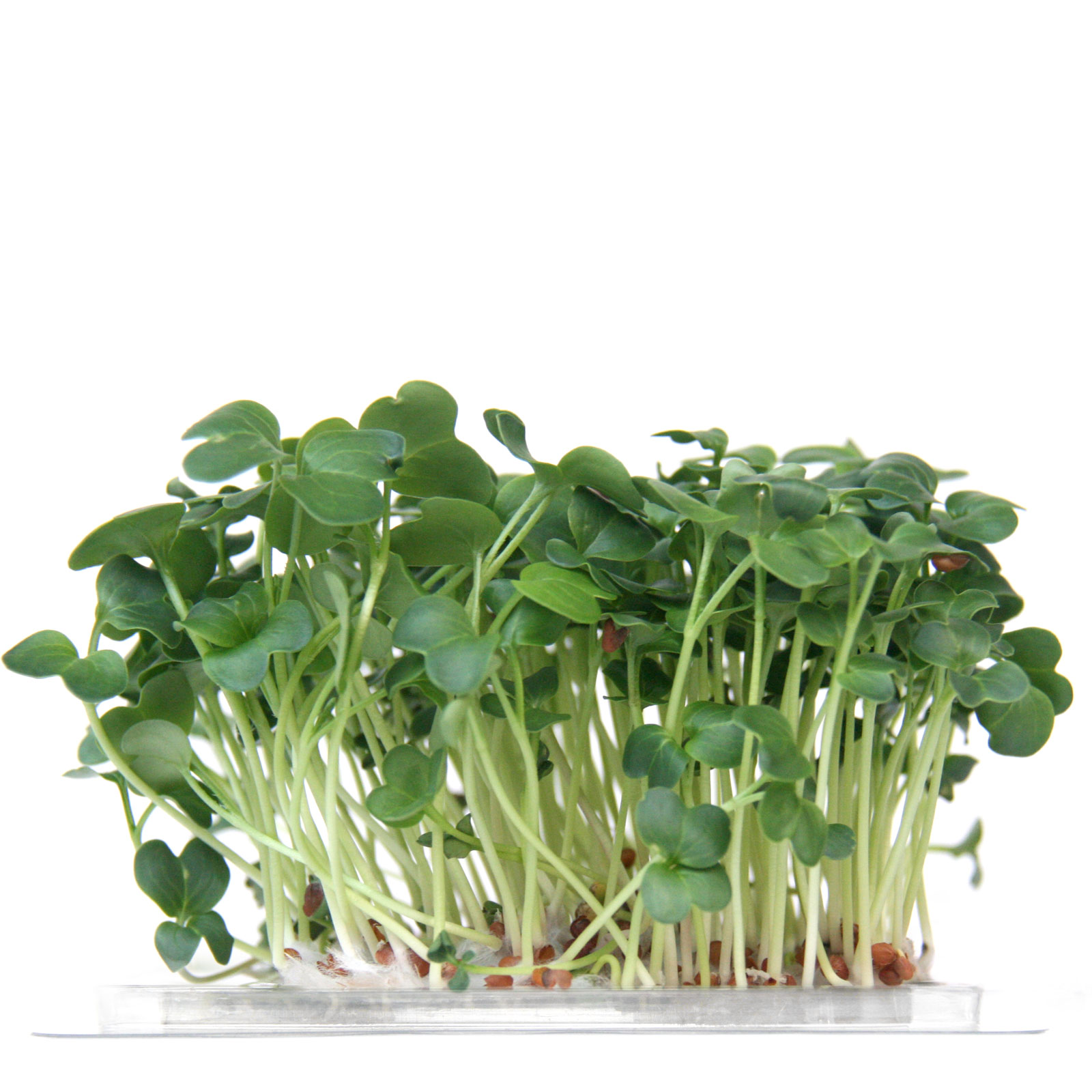 InstaGreen Microgreen cup with Green Daikon