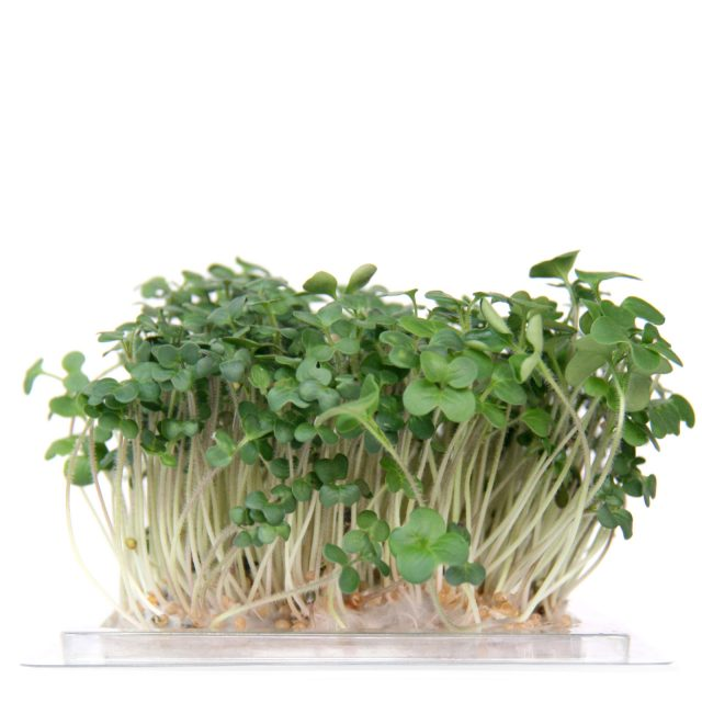 InstaGreen Microgreen cup with Mustard