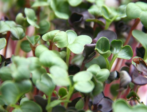 Everything you want to know about microgreens!