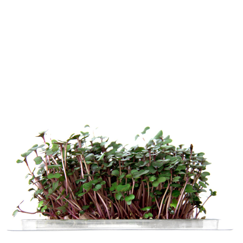 InstaGreen Microgreen cup with Red Cabbage