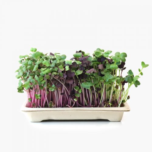 Home grow kit daikons (radish)