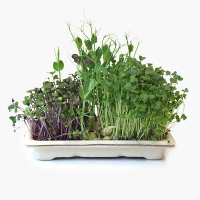 Home grow kit with mild microgreens - peashoot, red cabbage, kale