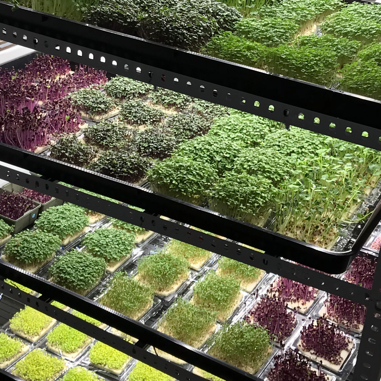 InstaGreen cultivation system with layers of beautiful microgreens