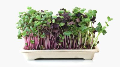 Home grow kit Daikons - full of beautiful microgreens